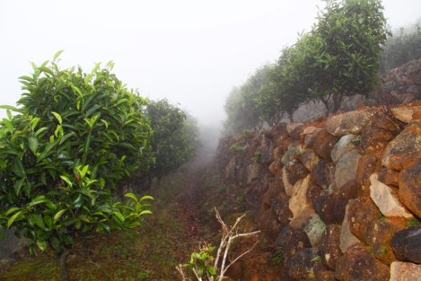 蜜兰香单枞乌龙属于什么茶树品种的?白叶种茶树能做红茶吗?