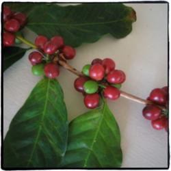 夏威夷精品咖啡介绍、埃塞俄比亚精品咖啡介绍、哥斯达黎加精品咖啡介绍