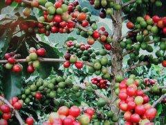 朱古力、咖啡和茶都是维持健康生活所需的重要食物
