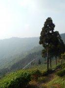 大吉岭红茶哪个庄园好 大吉岭茶产地种植位置区分茶叶的好坏