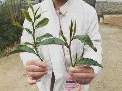 云南老树茶属于什么茶 老树茶和古树茶哪个好 老树茶价格一般多少