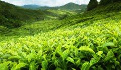 红茶哪个品种最好喝 常见的红茶有哪些种类和品牌都适合什么人喝