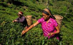世界四大红茶包括哪些哪个最好喝 阿萨姆和大吉岭红茶的口味区别